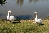 Swans with nestlings