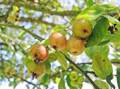 Cider Apples On Tree In Calvados Region