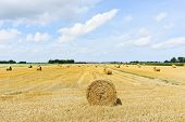 Yellow Haystack Rolls On Harvested Field