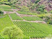 image of moselle  - vineyard on green hills at riverbank in Moselle valley Germany