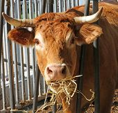 image of cuckold  - Brown cow of the breed while eating straw and hay in the barn - JPG