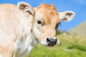 foto of moo-cow  - Brown cow through the Catalan Pyrenees Spain