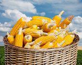 Ripe Corn In Basket On Blue Sky Background