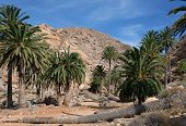 Fuerteventura - Palm trees in the Barranco de las Penitas