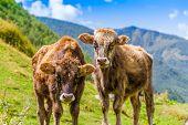 cows in Ushguli, Upper Svaneti, Georgia, Europe. Caucasus mountains.