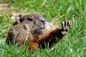 stock photo of groundhog  - Give me five shows Groundhog  - JPG