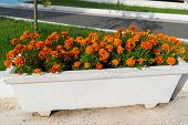 Flowerbed with orange marigold flowers in garden