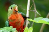 picture of rainforest animal  - young male king parrot sitting in a tree in the rainforest - JPG