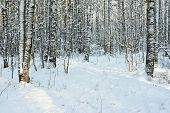 Birch Trunks Covered With Snow In Forest