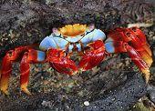 foto of crab  - Sally lightfoot crab Crab on a rock  - JPG