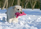 Yellow Labrador In Winter With A Pink Toy Close