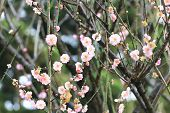 Plum flowers and buds