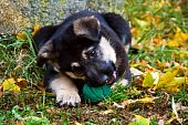 foto of newfoundland puppy  - A puppy crossbred between a German Shepherd and a Newfoundland - JPG