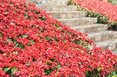 Bright Red Poinsettia Alongside Stone Stairs