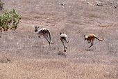 Kangaroos On The Run