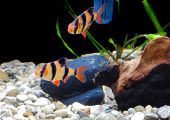 picture of shoal fish  - Shoal of aquarium fish - JPG