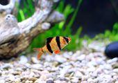 Single Quarium Fish-barbus. (barbus Pentazona)