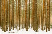 Thick Snowy Pine Wood Forest Background