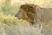 Male Lion Walking In The Grassland