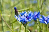 Young Corn Flower On Spring Meadow.