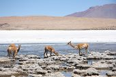 Vicunas in the lagoon of Andes in Bolivia