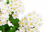 foto of meadowsweet  - Beautiful white flowering shrub Spirea aguta  - JPG