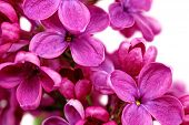 foto of lilac bush  - Beautiful Lilac in the Vase - JPG