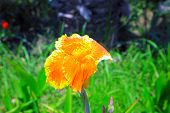 picture of ayam  - A beautiful roof iris flower in summer day - JPG