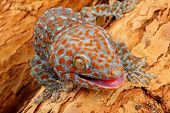 stock photo of tokay gecko  - Closeup of a Tokay Gecko  - JPG