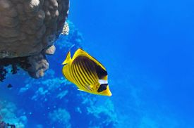 stock photo of butterfly fish  - Coral and fish in the Red Sea - JPG