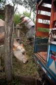 Costa Rican Ranch Hand Putting Cow Onto Truck