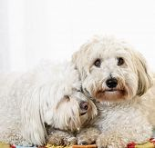 picture of snuggle  - Portrait of two coton de tulear dogs snuggling together - JPG