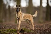 stock photo of belgian shepherd dogs  - Pedigree Belgian Malinois Shepherd dog outdoors in the forest on a sunny spring day - JPG