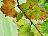 pic of vines  - Grape Vine Macro - JPG
