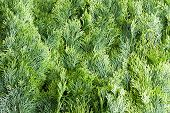 foto of juniper-tree  - Arborvitae leaves background with a closely packed layer of evergreen fronds or foliage from the Thuja tree a popular ornamental Arborvitae grown in many gardens - JPG