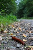 stock photo of slug  - brown slug creeping at the side of a path through the forrest through leaves and stones - JPG