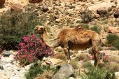 stock photo of oleander  - Camel chomping on lunch by an Oleander bush - JPG