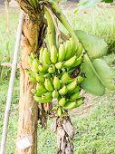 foto of bunch bananas  - The Bunch of bananas in green garden  - JPG