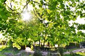 stock photo of linden-tree  - view of Green leaves of old linden tree - JPG