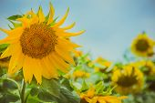 foto of sunflower  - Close up of sunflower in sunflower field.
