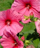 Giant Pink Hibiscus