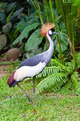 Southern Crowned Grey Crane