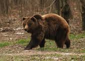 brown bear / Ursus arctos / urs carpatin