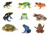 Постер, плакат: Frog Compilation Red eye Tree Frog Blue Dyeing Dart Frog The False Tomato Frog The Long nosed Ho