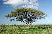afrikakarte akazie Baum