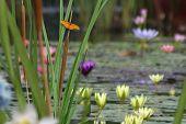Borboleta e Lily Pond