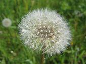 Dandelion - A Symbol Of Summer. poster