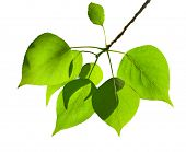 leaves of poplar isolated on the white background