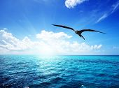 picture of albatross  - albatross and caribbean sea - JPG