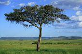 Masai Mara Tree